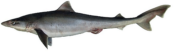La liste rouge des esp ces menac es requins raies chim res for Achat poisson rouge paris 18
